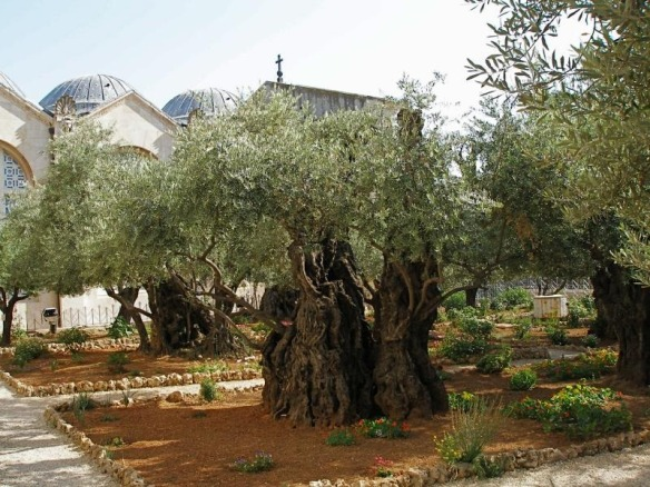 Olive-Trees-at-the-Garden-of-Gethsemane