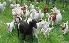 sheepgoats